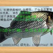 丰产鲫鱼良种苗图片