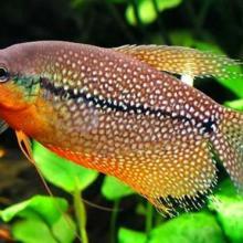供应马甲热带鱼、