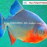 淡水白鲳鱼苗亿龙牌图片