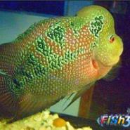 罗汉鱼观赏鱼图片