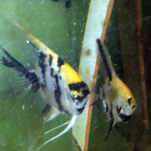 供应熊猫燕鱼@ 熊猫燕鱼热带淡水观赏鱼