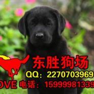 东莞哪里有卖拉布拉多导盲犬多少钱图片