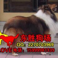 广州哪里有苏格兰牧羊犬卖纯种苏牧图片