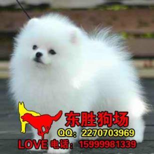 江门哪里有卖博美犬江门哪里有狗场图片