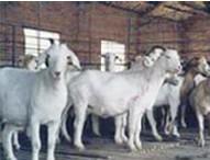 买白山羊就到山东万隆牧业批发
