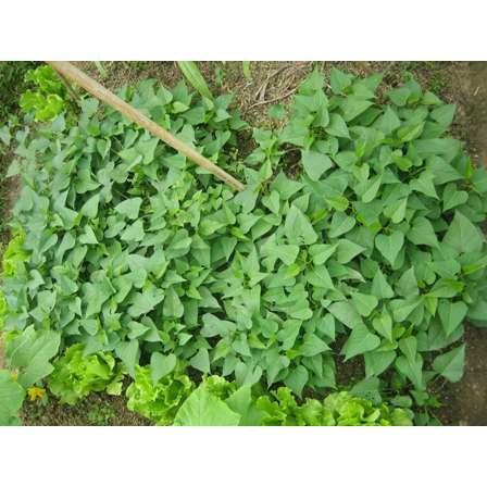 供应农用物资脱毒红薯苗精品优良脱毒红薯苗农科院提供