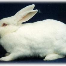 供应新西兰兔枣庄新西兰兔滕州新西兰白兔批发