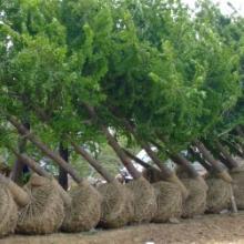 供应绿化苗木价格