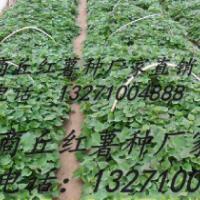 供应哪里有商薯19红薯苗最大基地--哪里有商薯19红薯苗最大基地批发
