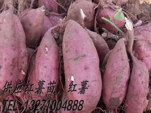 供应红薯苗商薯19红薯种批发价格-红薯苗商薯19红薯种-哪里里卖红薯苗