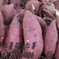 供应河北红薯苗商薯19红薯种-红薯薯种苗价格-哪里里卖红薯苗
