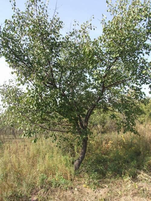 供应辽宁绿化苗木
