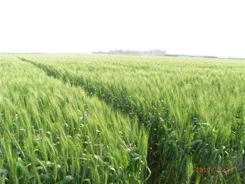 供应南方冬种小麦