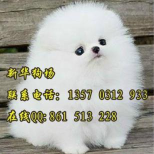 广州狗场地址在哪广州买博美图片