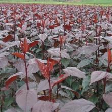 供应长春出售王族海棠,哈尔滨紫叶稠李、光辉海棠苗图片