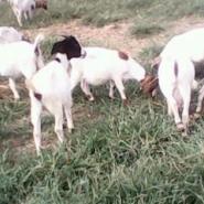 波尔山羊活羊价格羊苗多少钱图片