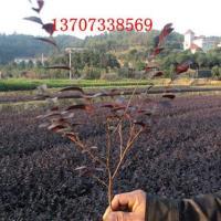 供应特价红花继木基地汤璇德苗圃批发13707338569