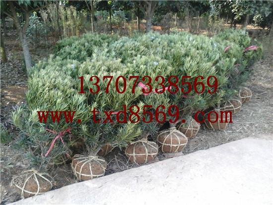 供应湖南苗木价格罗汉松球精品80公分13707338569