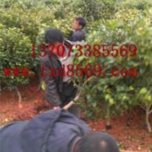 供应精品造型桂花柱桂花价格13707338569