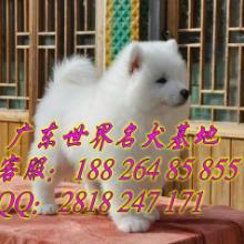 供应广州哪家狗场信誉最好 广州天河区哪里买纯种萨摩耶犬 图片