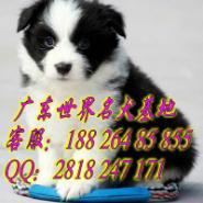 广州哪里有卖纯种健康边牧犬图片
