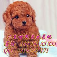 在广州哪里能买到健康玩具贵宾犬图片