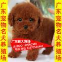 供应70广州哪里有卖纯种健康泰迪熊广州泰迪熊宠物狗市场广州狗场