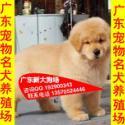 供应42深圳纯种金毛好不好养深圳哪里有买金毛犬 多少钱一只