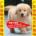 供应71广州边度有卖金毛犬宠物狗广州哪里有卖狗 广州那有金毛犬买
