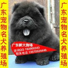 供应108广州市区哪里有卖松狮犬 广州市区宠物狗狗场出售名犬批发