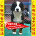 供应A34伯恩山犬伯恩山出售幼犬成犬都有纯种瑞士伯恩山犬出售可挑