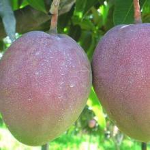供应四川攀枝花芒果,新鲜水果,攀西水果批发