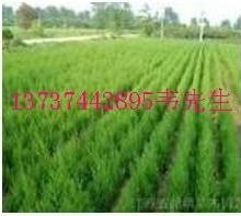 钟山县哪有黄花梨树苗木图片