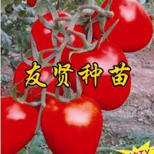 西红柿种子 小西红柿种子 樱桃番茄种子 寿光友贤种业