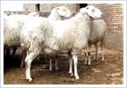 供应山东小尾寒羊/小尾寒羊价格