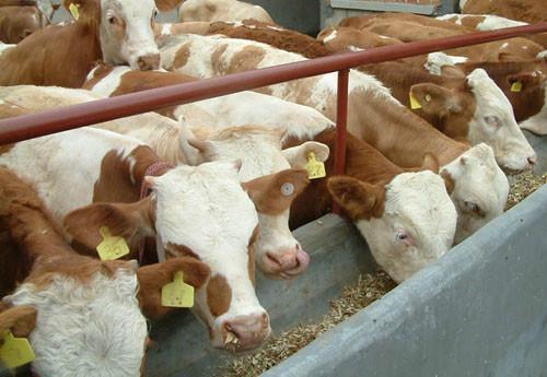 供应云南肉牛/肉牛养殖