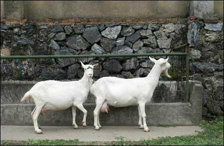供应品质保证奶山羊