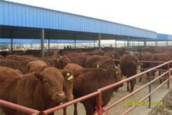 供应广西肉牛养殖场,肉牛价格,肉牛厂家