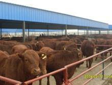 供应用于育肥与繁殖的贵州黄牛价格