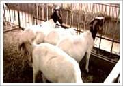 批发供应纯种波尔山羊图片