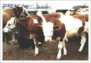 供应用于育肥与繁殖的贵州肉牛多少钱一头