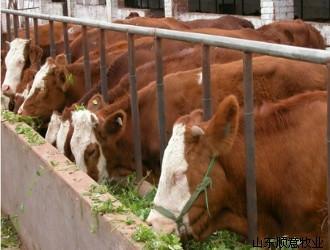 供应吉林肉牛/批发价格