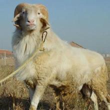 供应羊/70-85公分 肉羊批发价格