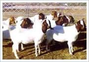 云南波尔山羊图片