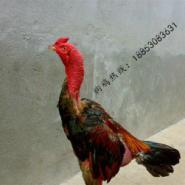 纯种斗鸡养殖场图片