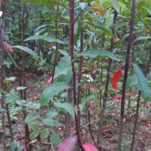 广西桂林杜英苗杜英芽苗、园林植物芽苗批发、杜英苗全国出售、杜英苗种植记得、