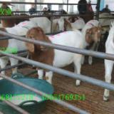 供应山东波尔山羊产羔羊多