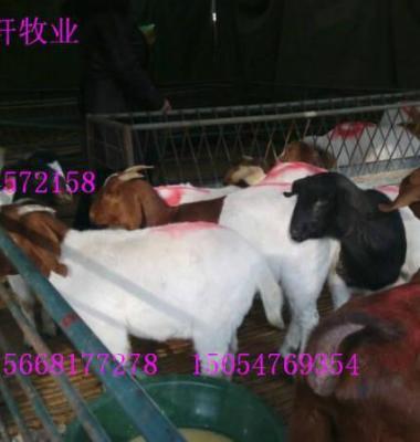 种羊肉羊图片/种羊肉羊样板图 (3)