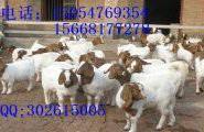 纯种波尔山羊养殖场图片