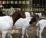 供应波尔山羊种羊最新价格调整